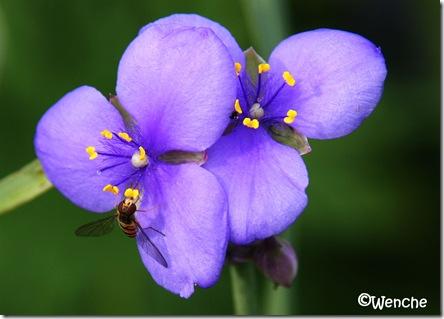 Tradescantia ohiensis - Blomstervandrer