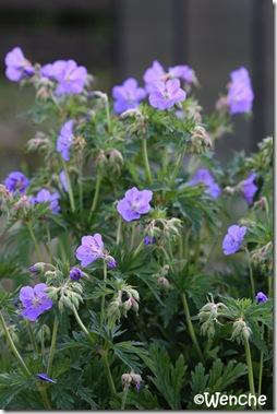 Geranium ruprechtii