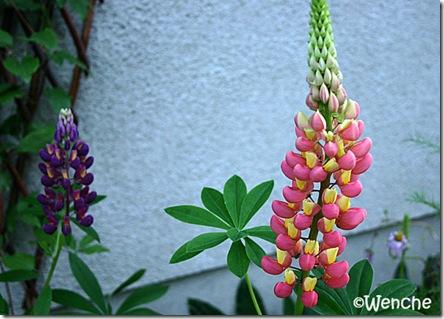 Lupinus hybridus 'Tutti Frutti'