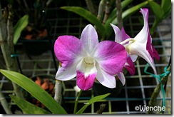 Dendrobium-Chiang-Mai