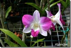 Dendrobium-Chiang-Mai