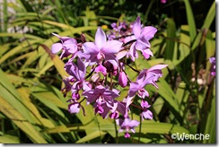 Spathoglottis-unguiculata2