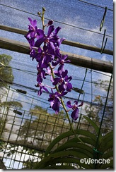 Vascostylis-Prapawan-Blue-M