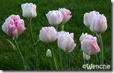 TulipaAngelique4