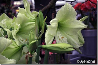 Hippeastrum-Luna-(2)