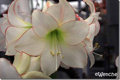 Hippeastrum-Picotee