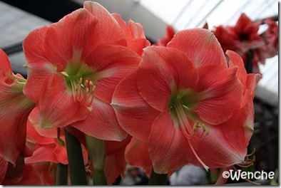 Hippeastrum-Rosalie