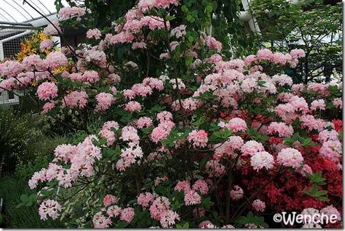 Rhododendron-Homebush