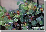 F.procumbensvariegata3