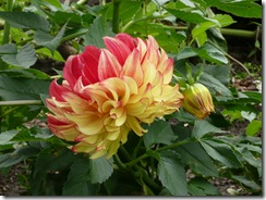 RBG dahlia