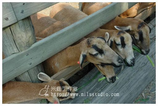 飛牛牧場-巴貝多黑肚綿羊