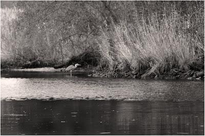 Graureiher / Fischreiher an der Hamme