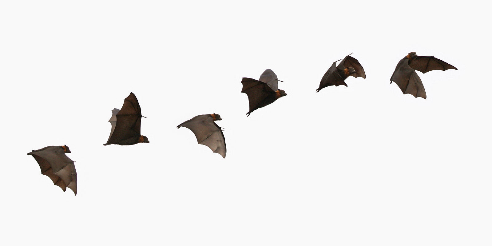Animated flying bats