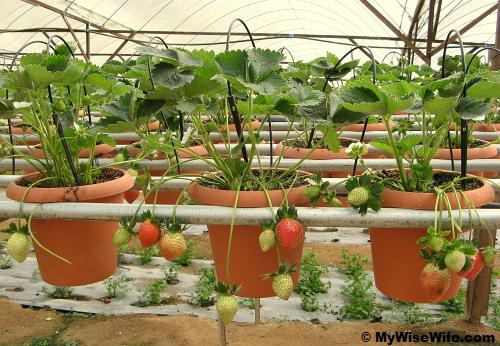 Lovely potted strawberry