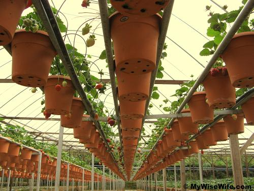 Pots of strawberry