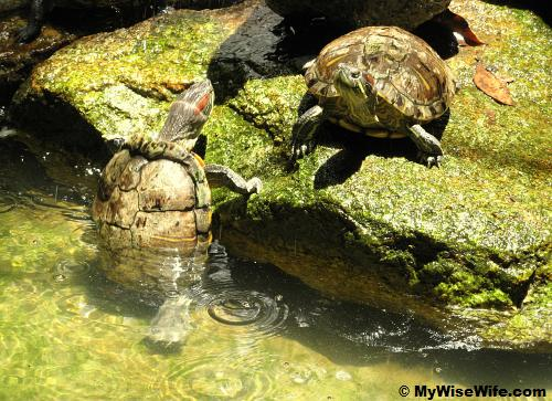 A tortoise trying to tackle its partner!
