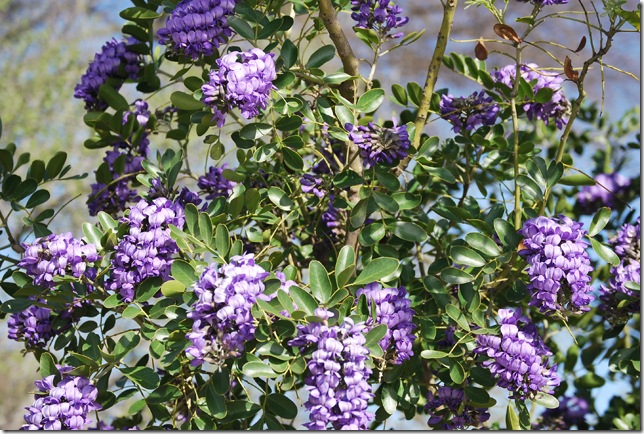 mountain laurel resized