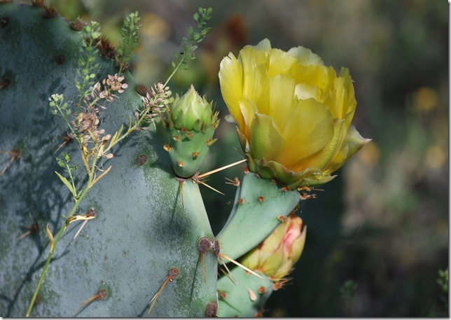 prickly pear bloom resized