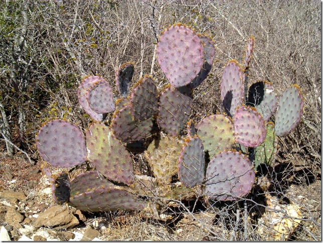 purple cactus 1