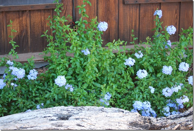 plumbago bush resized