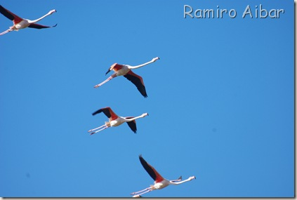 flamencos en vuelo 3