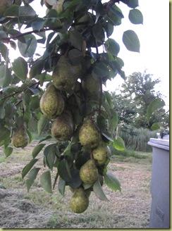 pear tree2