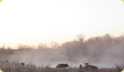 cattle on pond