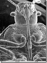 ArchivoHead of Pentatomidae SEM.jpg