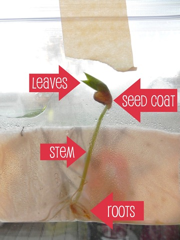 bean seedling labels
