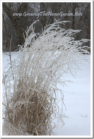 Panicum virgatum 'Shenandoah' Switchgrass encased in ice 1-2010-1