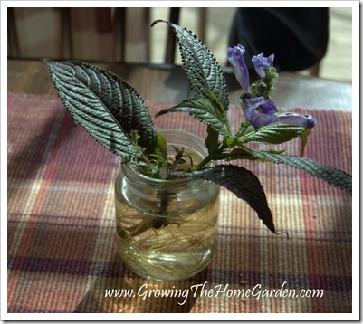 Persian Shield from Cuttings 1-2010-3
