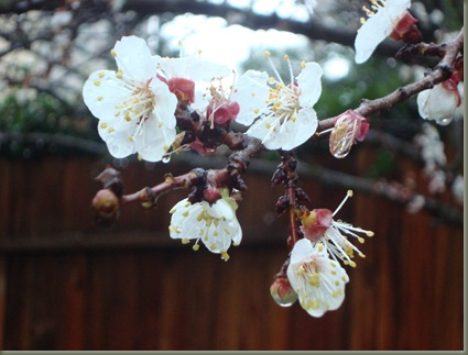 apricot tree in March