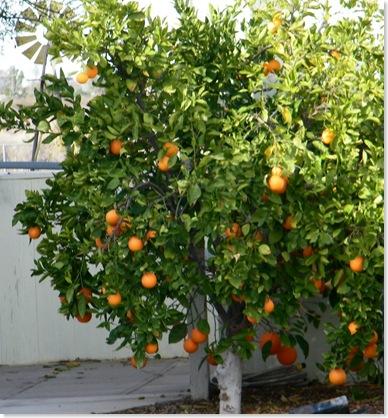 Dennis Harvey's orange tree
