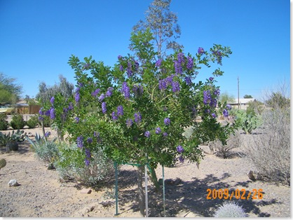 Texas Mountain Laurel tree