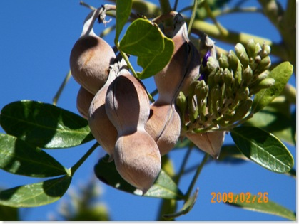 Texas Mountain Laurel tree blooms seed pods