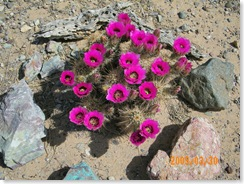 Claret Cup Hedgehog in Pat Steele's cactus garden