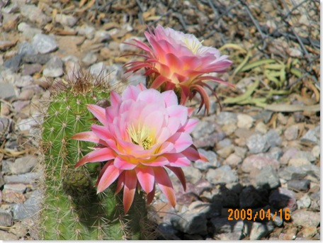 after noon - Tricho cereus - another night-bloom (lasts about 24 hours)