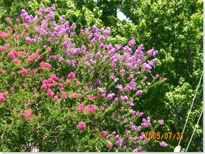 pink and lilac crepe myrtle