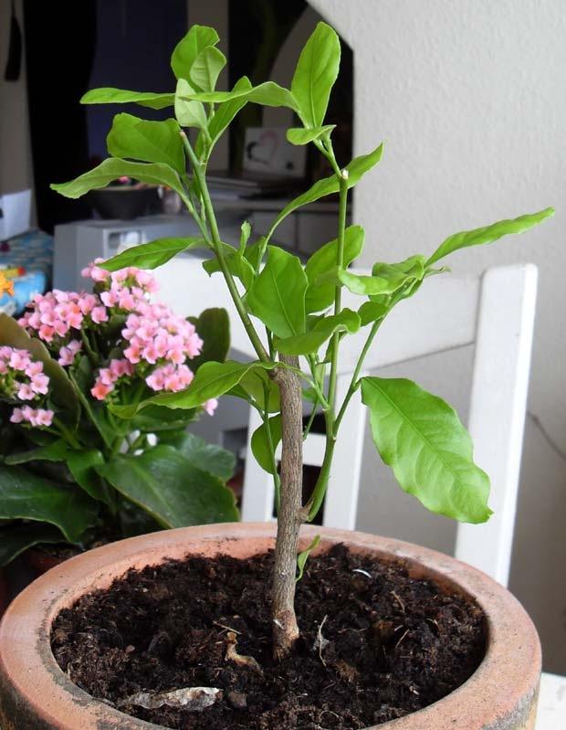 det lille citrontræ, der engang ikke var andet end en pind