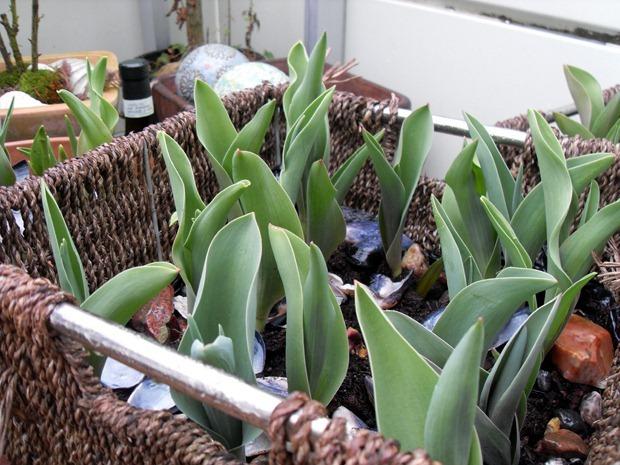 tulipanspring