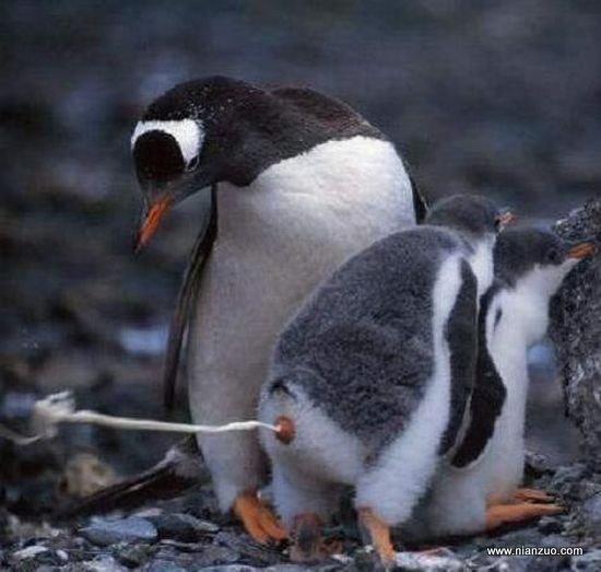 動物的快樂生活 兒子,你太惡心了,企鵝