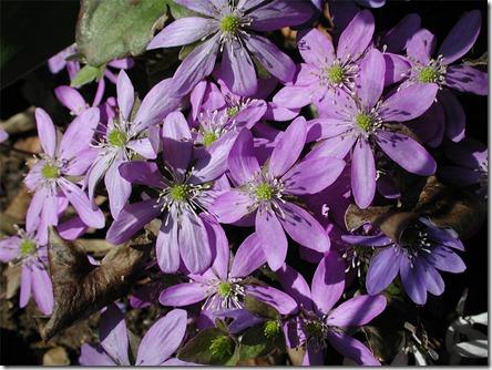 anemone_epatica