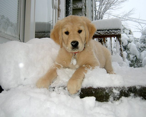 cute golden retriever puppies pictures. From Cute Golden Retriever