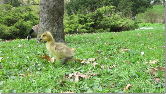 High Park Baby Geese