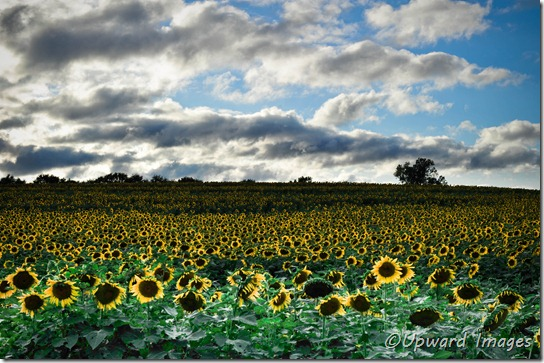Kansas Sunflowers
