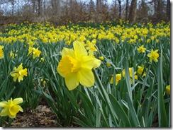 Daffodil_0084