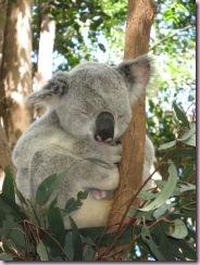 11-09-10-sligthly-overweight-coala-napping