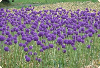 Alliummark