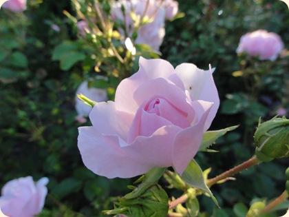 Rosenbedet