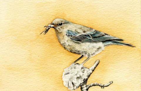 watercolour bluebird painting